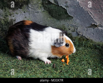 Black, brown, and white Guinea pig eating orange carrot in the zoo - Stock Photo