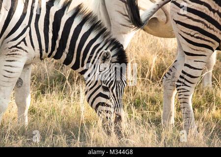 Zebra grazing, Etosha National Park, Namibia