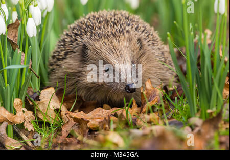 Hedgehog in Springtime, native wild hedgehog in snowdrops, facing forwards, Yorkshire, England, UK - Stock Photo