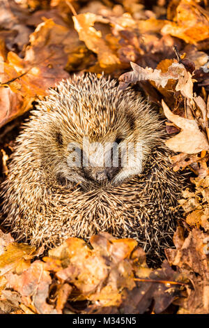 Hedgehog, native, wild hedgehog hibernating in golden autumn leaves. Erinaceous Europaeus - Stock Photo