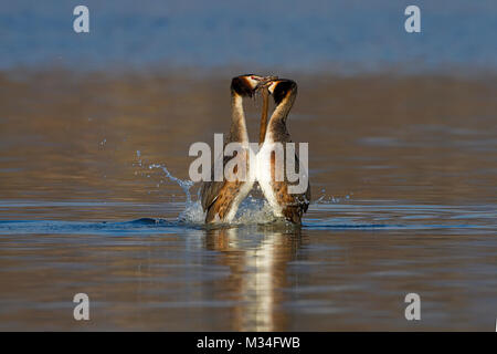Greater grebes in bridal parade - Stock Photo