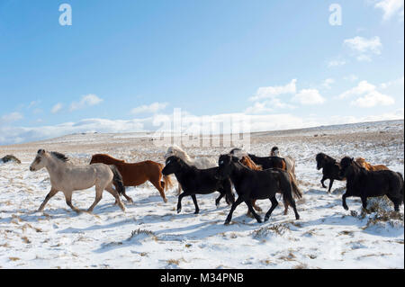 Builth Wells, Powys, UK. 9th Feb, 2018. UK Weather. Hardy Welsh Mountain Ponies are seen in a wintry landscape on - Stock Photo