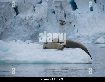 A pair of crabeater seals resting on an iceberg with a glacier in the background. - Stock Photo