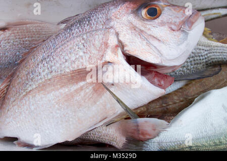 Fresh snapper fish ready to cook. - Stock Photo
