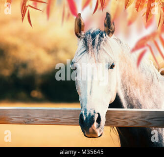 Beautiful gray horse head at paddock fence at autumn nature background with colorful fall foliage - Stock Photo