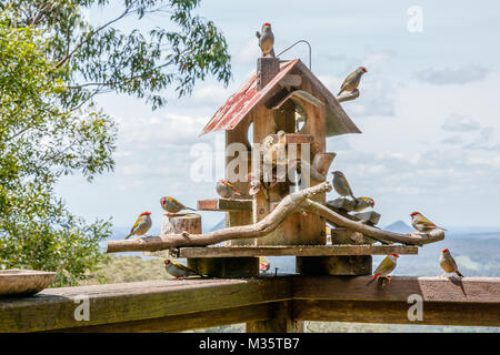 Bird house with Red-browed finches eating seeds. Queensland, Australia - Stock Photo