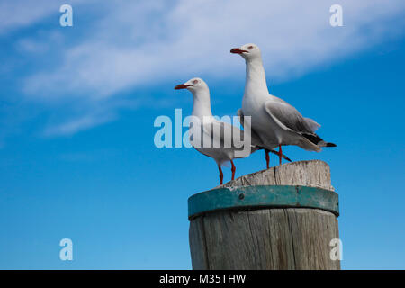Two seagulls on a pole, Heron Island, Queensland, Australia - Stock Photo