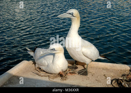Pair of Northern Gannets, Morus bassanus, Nesting on the Quayside at the Port of Carry-le-Rouet Provence France - Stock Photo