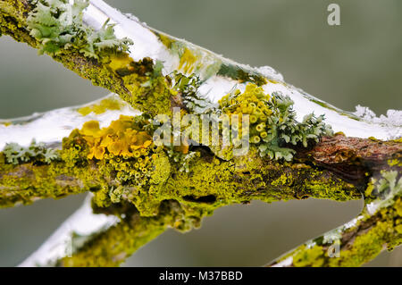 Close up of lichens and mosses on a branch encapsulated in glaze ice from freezing rain on a cold winter day, Germany - Stock Photo