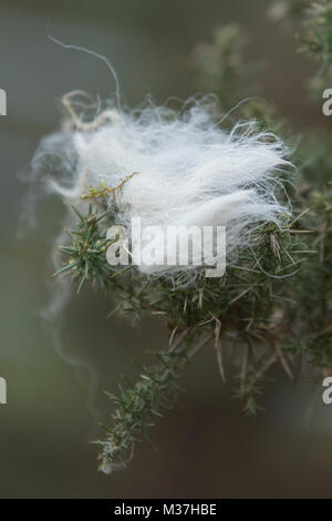 Maenclochog, Pembrokeshire, Wales, UK. 22nd of january 2018.  Sheep Wool on a plant in a feld, because of the rising - Stock Photo