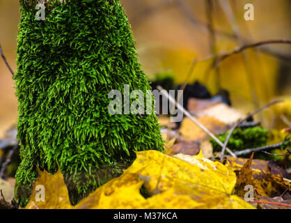 Lichen moss on the tree trunk and on the ground with autumn leaves piled around. - Stock Photo