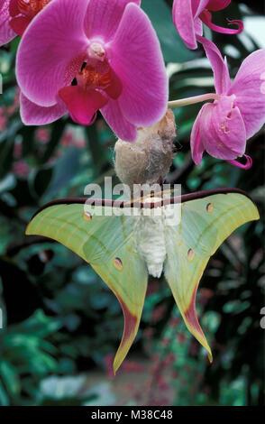 Vietnam. Near Son La. Butterfly.  Indian moon moth (Actias selene). Orchid. - Stock Photo