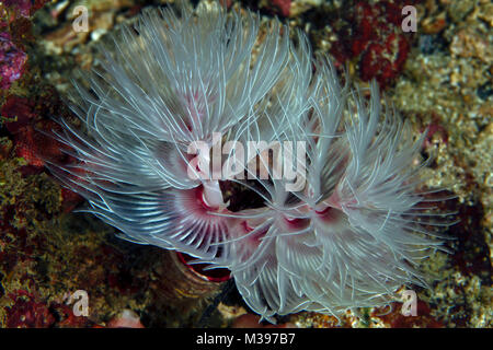 Magnificent tube worm (Sabellastarte magnifica). Puerto Galera, Philippines - Stock Photo