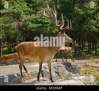 Red deer (Cervus elaphus). Mature male (stag) - Stock Photo