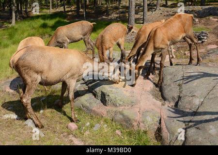 Herd of Red deer (Cervus elaphus) eat grain in forest - Stock Photo