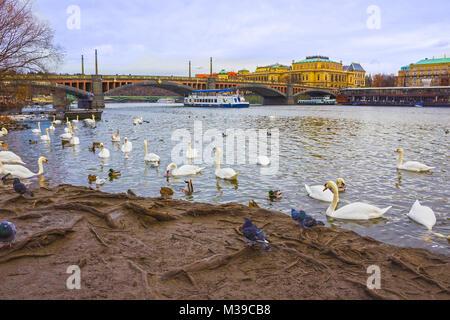 View on swans on Vltava river in Prague - Stock Photo