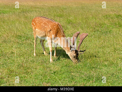 Sika deer (Cervus nippon, also known as spotted deer or Japanese deer) is eating grass - Stock Photo