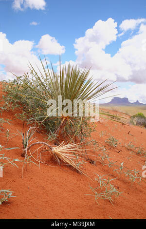 yucca plant in western USA desert - Stock Photo