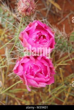close up beavertail cactus blooming in desert - Stock Photo