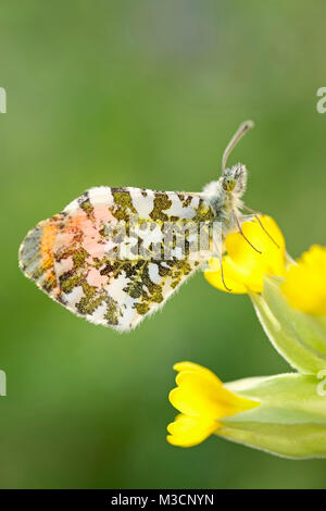 Male orange-tip butterfly resting on Cowslip flowers - Anthocharis cardamines - Stock Photo