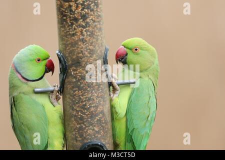 Two stunning Ring-necked Parakeet (Psittacula krameri) feeding from a seed bird feeder in winter. - Stock Photo