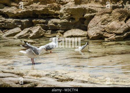 Seagulls on Heron Island. Pacific Ocean, Queensland, Australia - Stock Photo