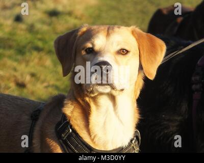 Small beagle Labrador whippet cross breed beautiful portrait in sunshine - Stock Photo