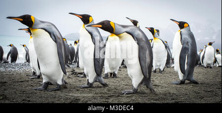 A group of king penguins looking inquisitively at the camera on salisbury plain, south georgia - Stock Photo