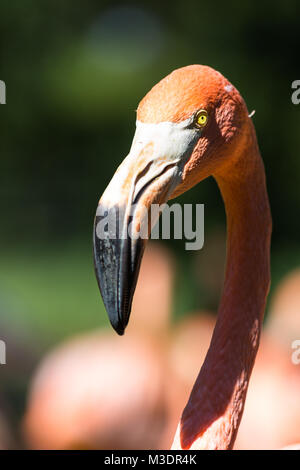 A view of Greater flamingo (Phoenicopterus roseus) - Stock Photo