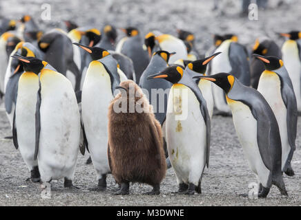 A group of adult king penguins standing next to a juvenile penguin on Salisbury Plain, South Georgia - Stock Photo