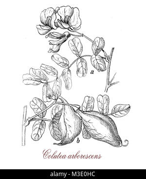 vintage engraving of colutea arborescens, shrub with pea-like flowers used in landscaping against erosion in dry - Stock Photo