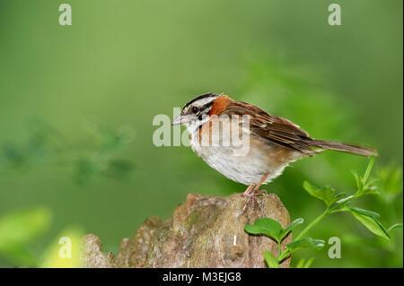 Rufous-collared Sparrow (Zonotrichia capensis), Sucandi, Suzano, Sao Paulo, Brazil - Stock Photo