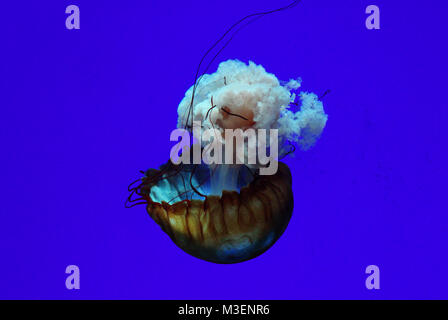 Isolated Jellyfish in deep blue water - Stock Photo