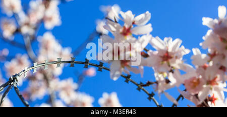 Freedom concept. Wire barbed fence and blur almond tree blossoms on blue sky background, springtime - Stock Photo
