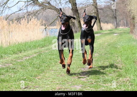 Two dogs dobermans running - Stock Photo