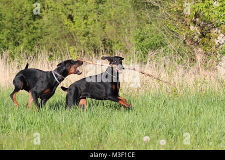Two dogs doberman running - Stock Photo