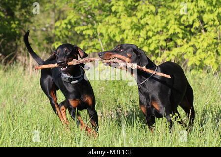 Two dogs doberman running / playing - Stock Photo