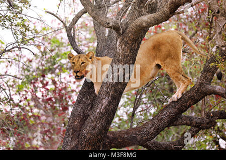 lioness stands in a tree, Kruger NP, South Africa - Stock Photo