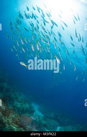 Horse eyed jacks swimming over the reef - Stock Photo