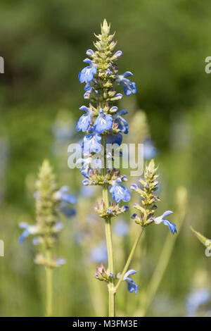 Bright blue bog sage (Salvia uliginosa) flowers, growing in Buenos Aires, Argentina - Stock Photo