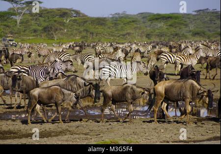 Wildebeest and zebras on Serengeti Plains, Tanzania - Stock Photo