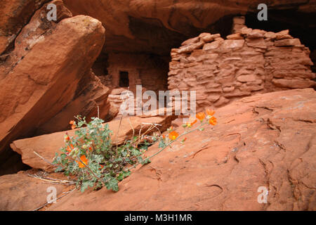 orange mallow wildflowers and indian ruins - Stock Photo