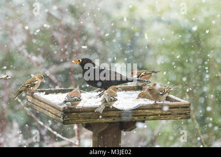 Stirlingshire, Scotland, UK - 11 February 2018: UK weather - busy bird table during a heavy snow shower in Stirlingshire - Stock Photo