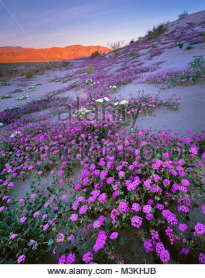 Desert Sand Verbena and Coyote Mountain, Anza-Borrego Desert State Park, California - Stock Photo