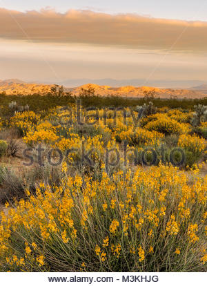 Brittlebush and Kelso Dunes at Sunrise, Mojave National Preserve, California - Stock Photo