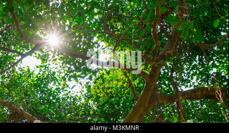 Sunlight shines through green leaves of banyan tree. - Stock Photo