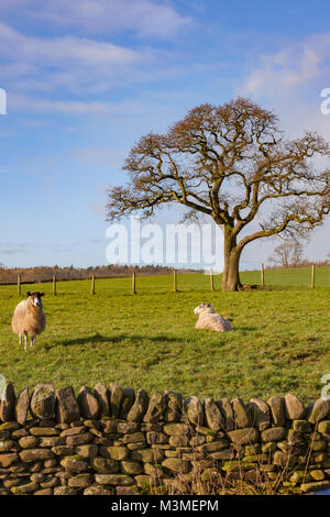 Ewe with their lambs in the winter sunshine on The Scale, between Bolton Abbey and Barden Tower on the B6160, Wharfedale, - Stock Photo
