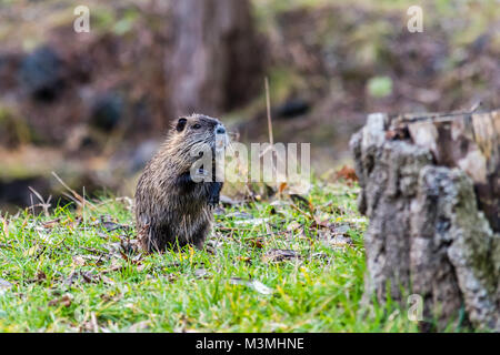 Small young curious coypu standing on two legs and looking around. Near the water in their natural environment. - Stock Photo