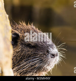 Small curious coypu looking from behind the stone. Water animal also known as river rat or Myocastor coypus or nutria. - Stock Photo