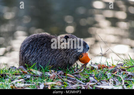 Small young coypu eating a carrot. On background is a river. Natural environment. Also known as nutria or Myocastor - Stock Photo